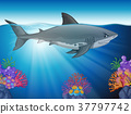 Great white shark swimming in the ocean 37797742
