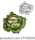 甘藍 包菜 椰菜 37798369