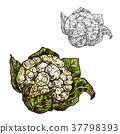 花椰菜 甘藍 包菜 37798393