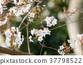 樱花盛开 樱花 樱桃树 37798522
