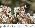 樱花盛开 樱花 樱桃树 37798523