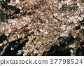 樱花盛开 樱花 樱桃树 37798524