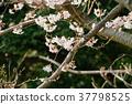 樱花盛开 樱花 樱桃树 37798525