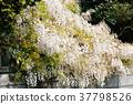 日本紫藤 紫藤 花朵 37798526