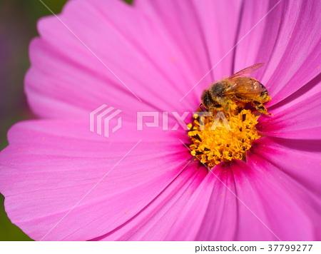 꿀벌과 코스모스 37799277