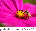 꿀벌과 코스모스 37799278