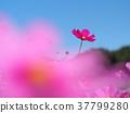 푸른 하늘을 올려다 보았다 생기있는 코스모스 37799280