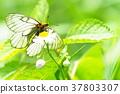 蝴蝶 日本雲阿波羅 冰川阿波羅 37803307