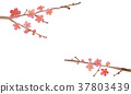 ume, Japanese apricot, plum blossoms 37803439