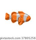 Clown fish, orange and white striped fish vector 37805256