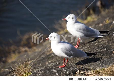 紅嘴鷗 百合海鷗 百合海鷗號 37807554