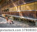 Deer in front of Wooden tablets, Nara, Japan 37808083