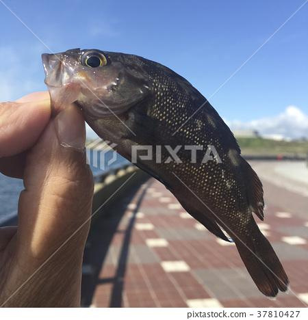 black rockfish, sebastes inermis, hokkaido 37810427