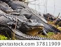Alligator 37811909