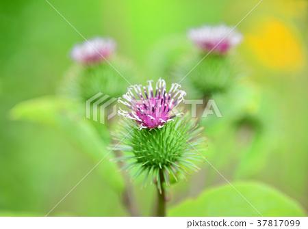 Burdock flower-33884 37817099