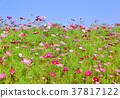 ดอกไม้,ทุ่งดอกไม้,คอสมอส 37817122