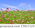 ดอกไม้,ทุ่งดอกไม้,คอสมอส 37817125