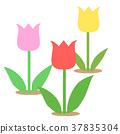 鬱金香 花朵 花 37835304
