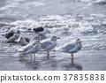 gull, gulls, sea 37835838