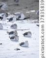 gull, gulls, sea 37835839