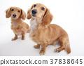 강아지 미니어처 닥스 37838645