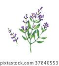 botanical, floral, herb 37840553