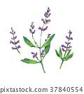 botanical, floral, herb 37840554