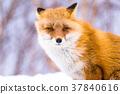 狐狸 蝦夷紅狐狸 動物 37840616