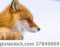 狐狸 蝦夷紅狐狸 動物 37840669