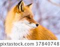 狐狸 蝦夷紅狐狸 動物 37840748
