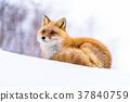 狐狸 蝦夷紅狐狸 寒冬 37840759
