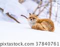 狐狸 蝦夷紅狐狸 寒冬 37840761