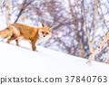 """""""北海道""""狐狸狐狸,雪景 37840763"""
