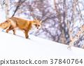 """""""北海道""""狐狸狐狸,雪景 37840764"""