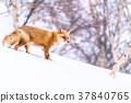 """""""北海道""""狐狸狐狸,雪景 37840765"""