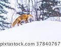 """""""北海道""""狐狸狐狸,雪景 37840767"""