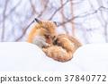 """""""北海道""""狐狸狐狸,雪景 37840772"""
