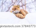 """""""北海道""""狐狸狐狸,雪景 37840773"""
