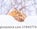 狐狸 蝦夷紅狐狸 寒冬 37840774