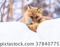 狐狸 蝦夷紅狐狸 寒冬 37840775