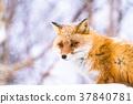 狐狸 蝦夷紅狐狸 動物 37840781