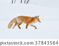 ezo red fox, fox, winter 37843564