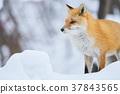 虾夷红狐狸 狐狸 冬天 37843565