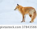 Kinta Fox在冬天 37843566
