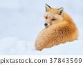 虾夷红狐狸 狐狸 冬天 37843569