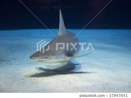 Dotabuka Shark White Shark 37847651