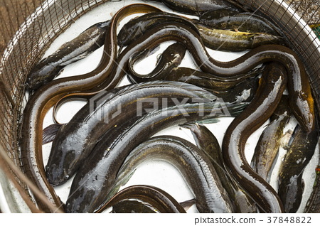 Living eels in baskets, Vietnamese market, My Tho 37848822