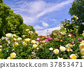 藍天 天空 玫瑰 37853471