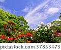 藍天 玫瑰 玫瑰花 37853473