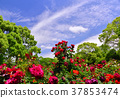 藍天 玫瑰 玫瑰花 37853474